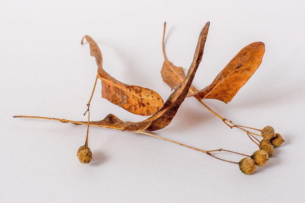 Dried Linden Seeds