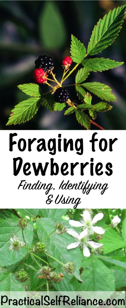 Foraging For Dewberries (Northern Dewberry - Rubus flagellaris)