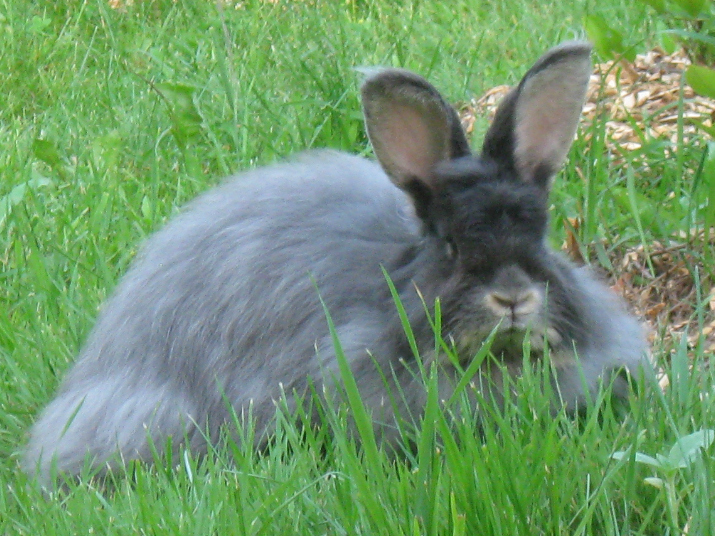 French Angora Rabbit Buck