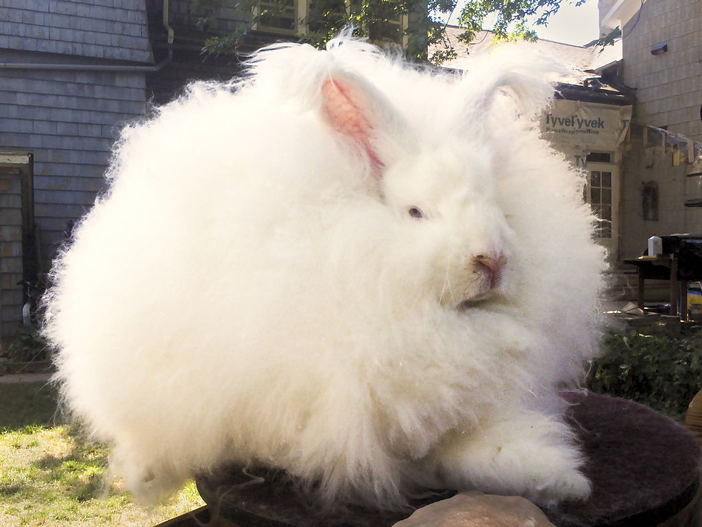Giant Angora Rabbit Buck