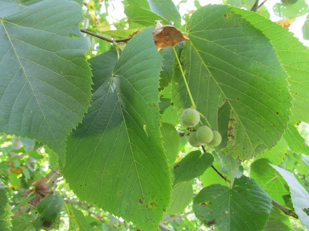 Linden Leaves and Seeds