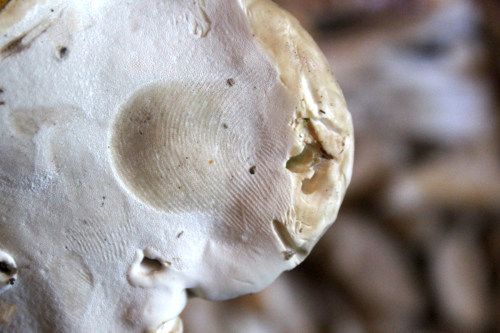 Foraging Reishi Mushrooms
