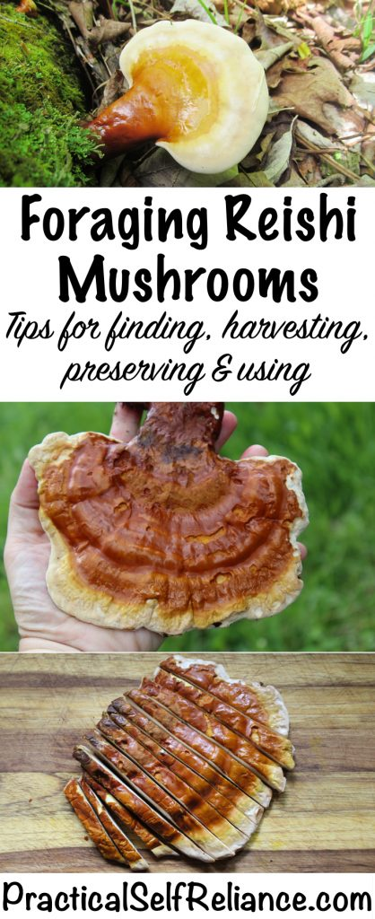 Foraging Reishi Mushrooms