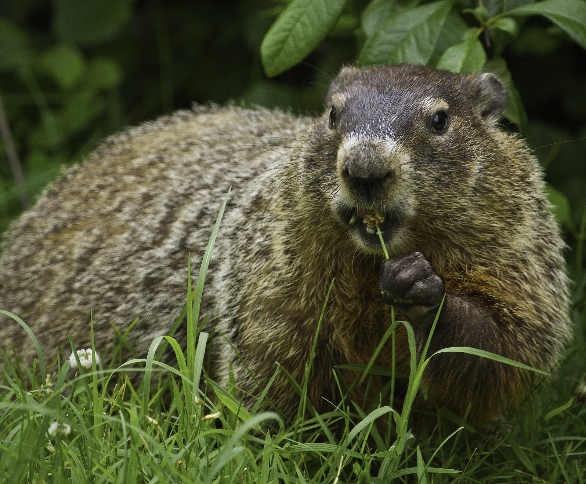 How to Clean and Skin a Groundhog (Woodchuck)