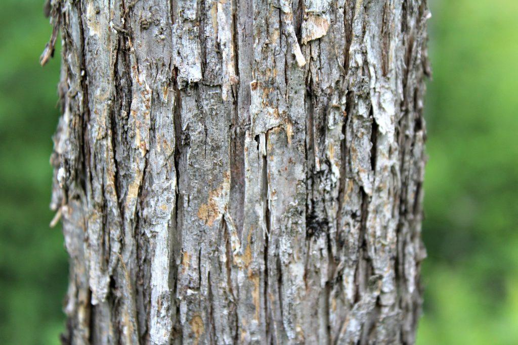 Foraging Hop Hornbeam - Edible nuts and medicinal bark