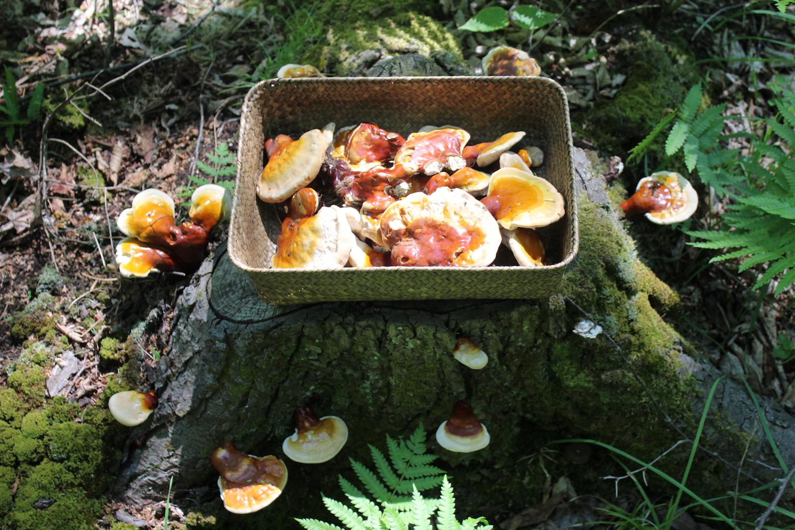 Basket full of freshly harvested reishi mushrooms