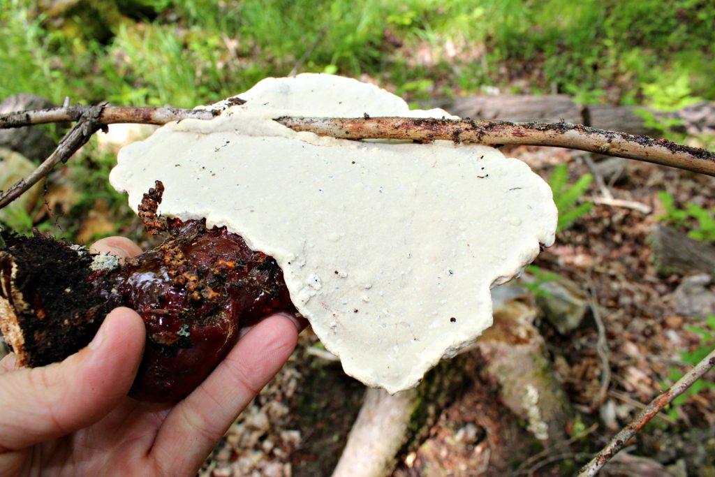 Reishi Mushroom Underside