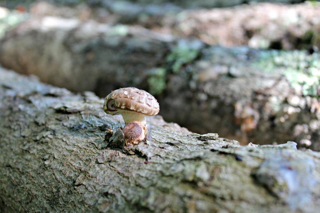 Earning Money with Shiitake Mushroom Cultivation