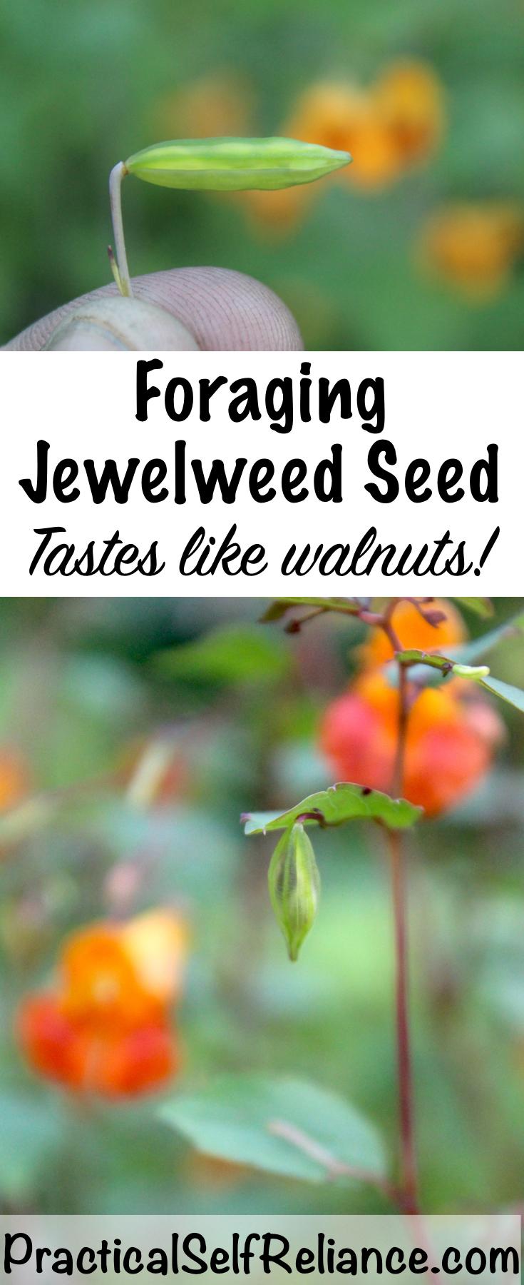 Foraging Jewelweed Seed ~ Tastes Like Walnuts!