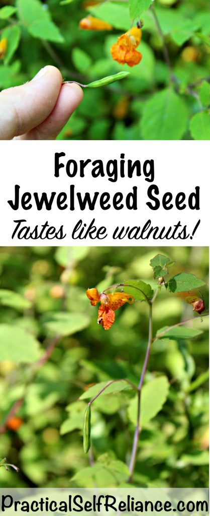 Foraging Jewelweed Seed