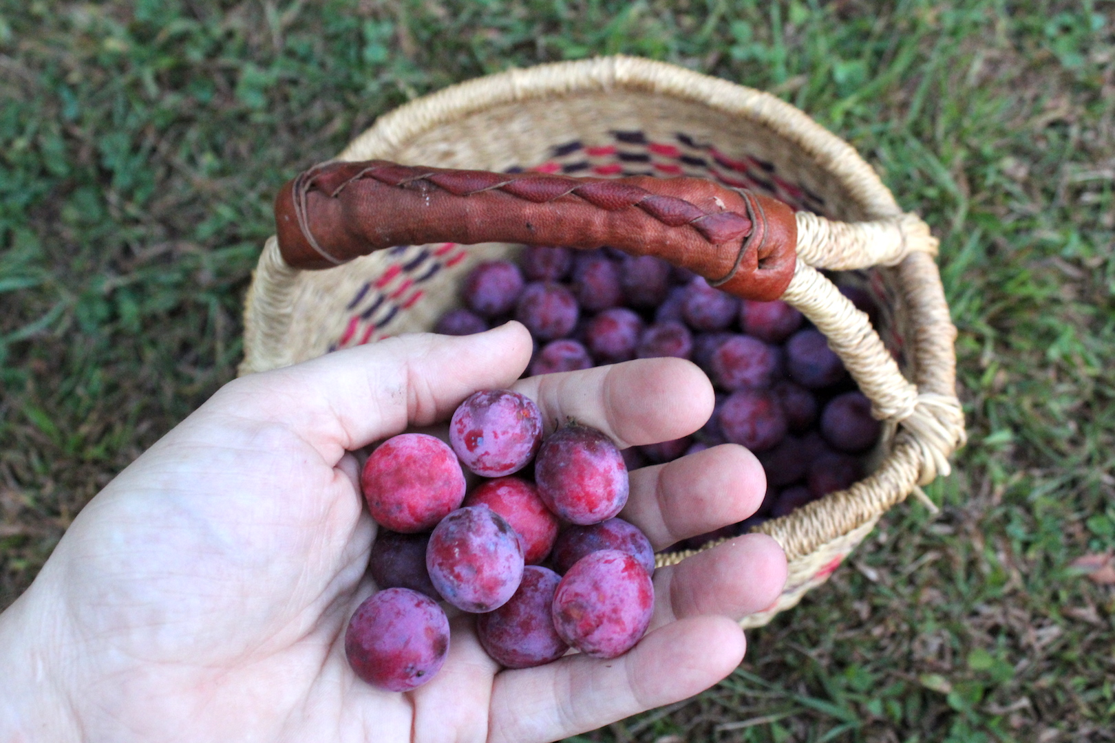 Foraged Wild Plums