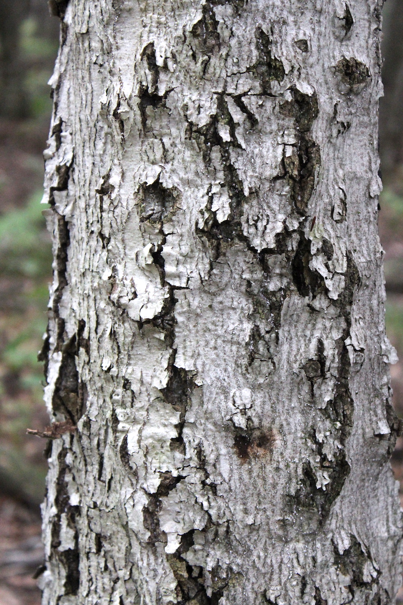 Beech Tree with Scale Disease