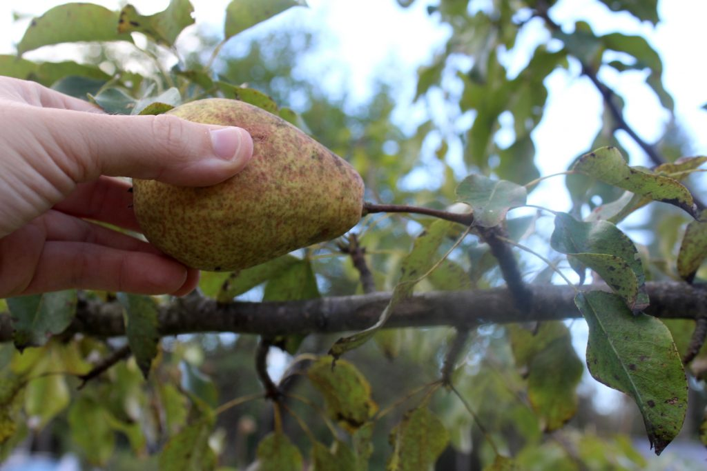 How to Pick a Pear off a Tree