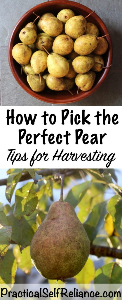 How to Pick a Pear - Tips for Harvesting