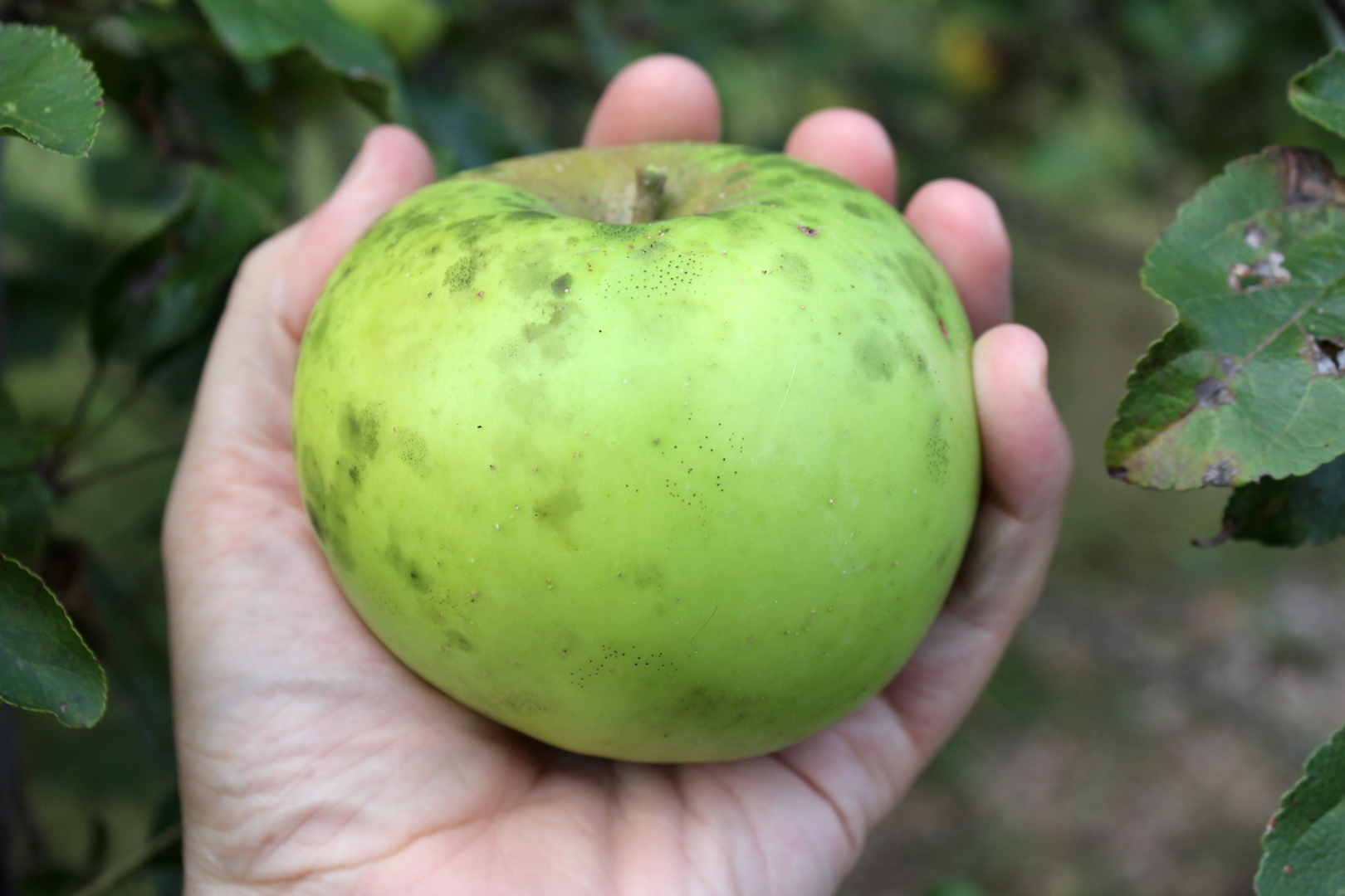 Keep Apples Fresh for Over a Year (without a root cellar)
