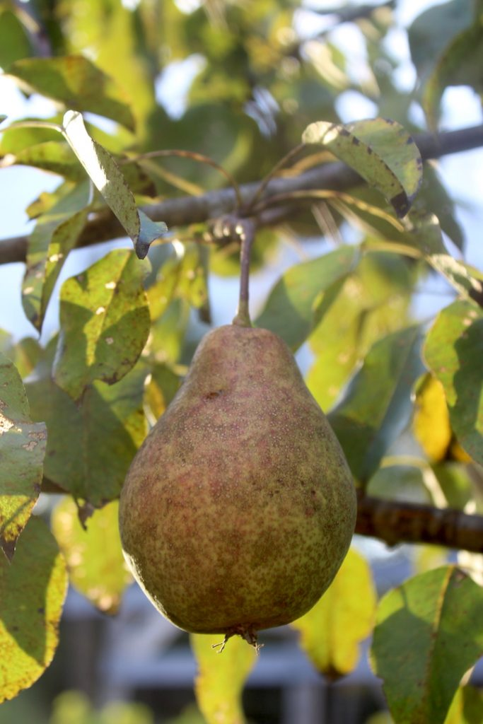 How to Pick a Pear off the Tree