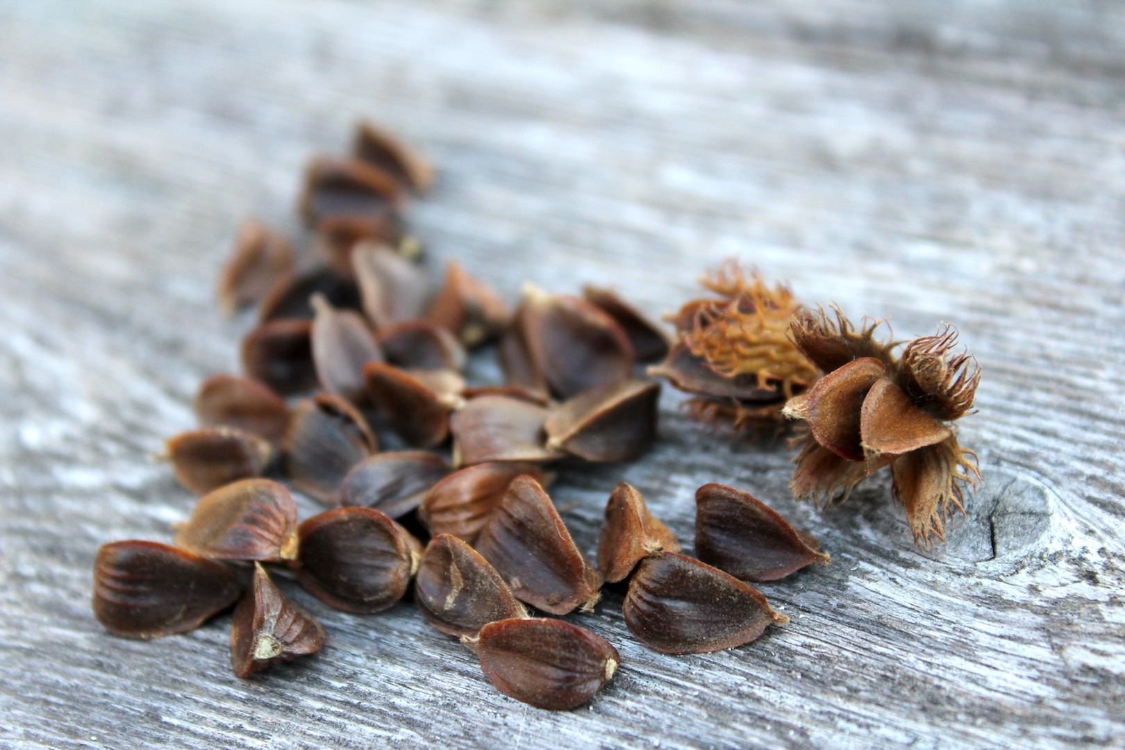 Pictures of beech nuts
