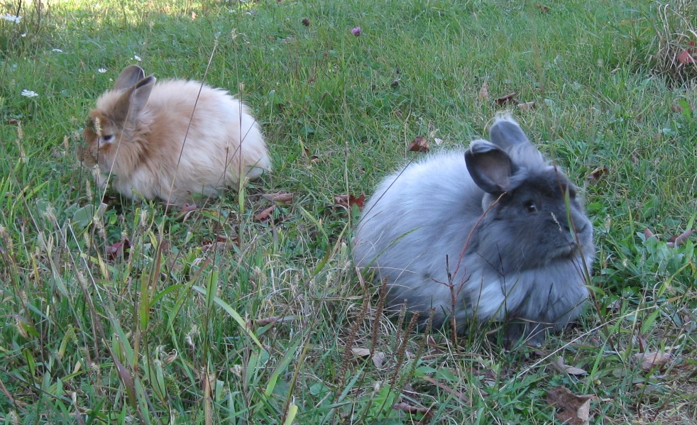 Angora Rabbits on Lawn