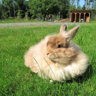 Reasons to Raise Angora Rabbits