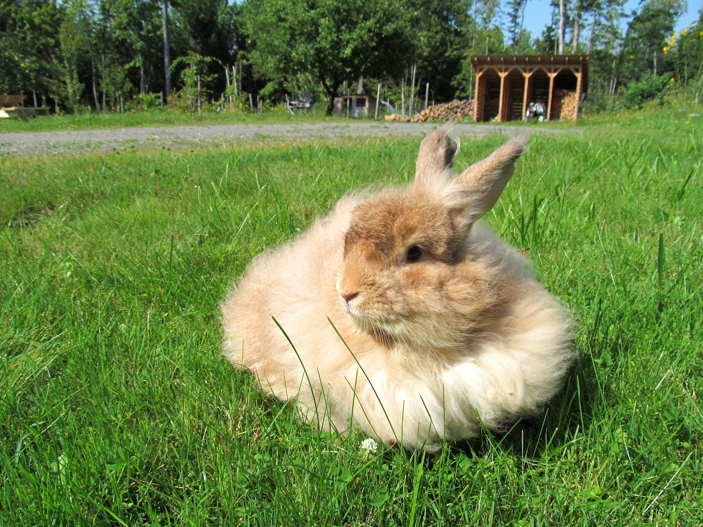 Raising Angora Rabbits for Fiber