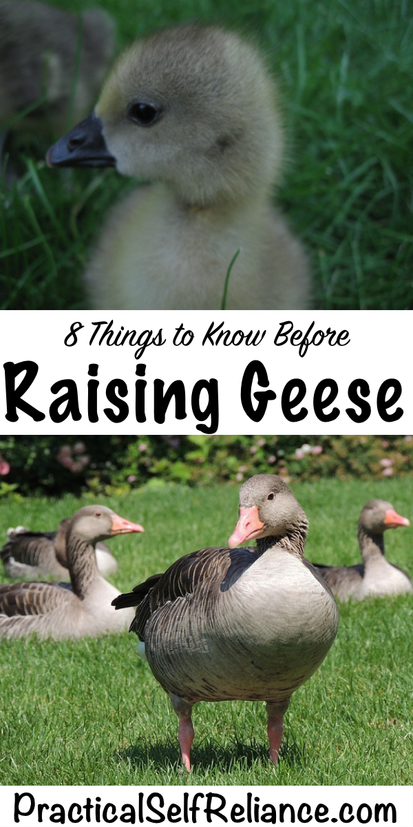 8 Things to Know Before Raising Geese