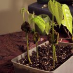 Grow Your Own Chocolate Tree Indoors (Even In Cold Climates)