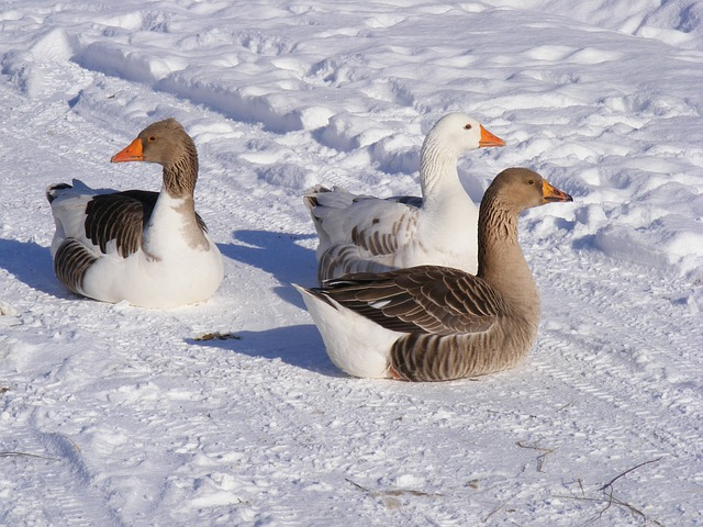 Cold Hardy Geese