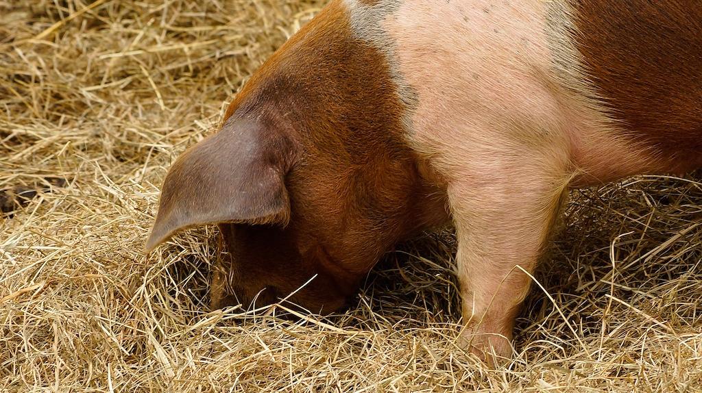 Homegrown pig rooting in hay