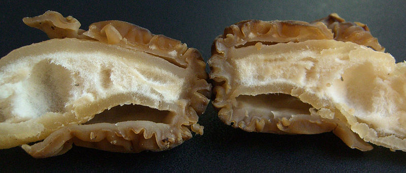 Verpa Bohemica cross section morel look alike (false morel)
