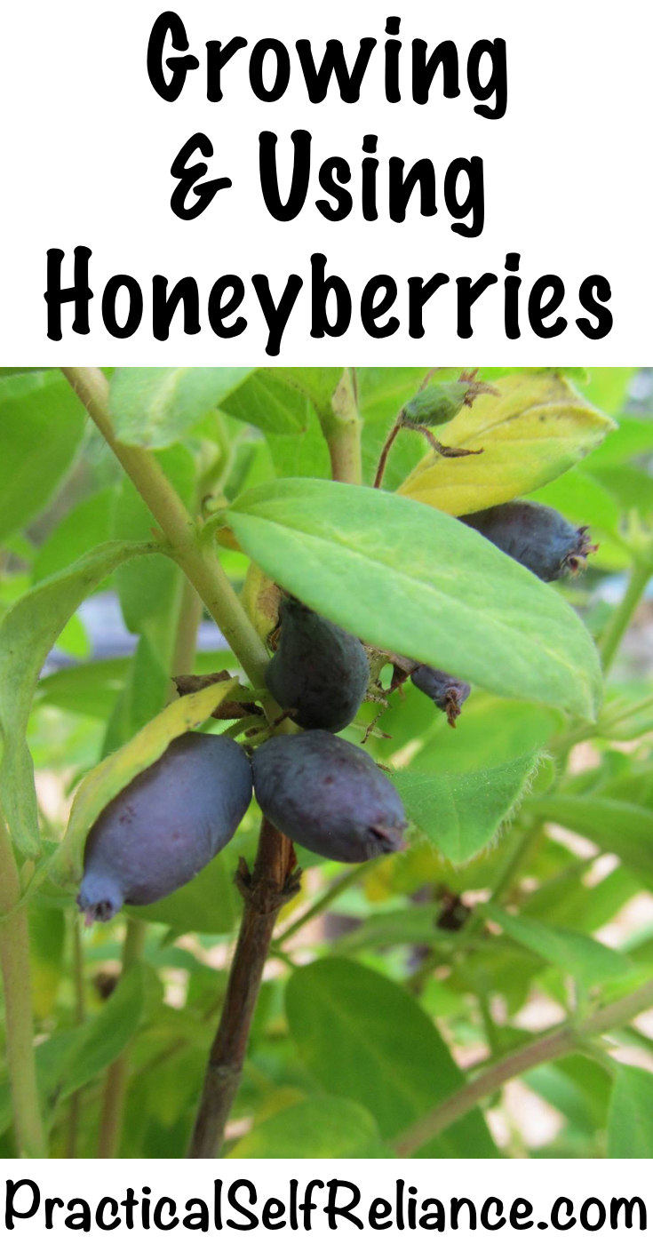 Growing and Using Honeyberries