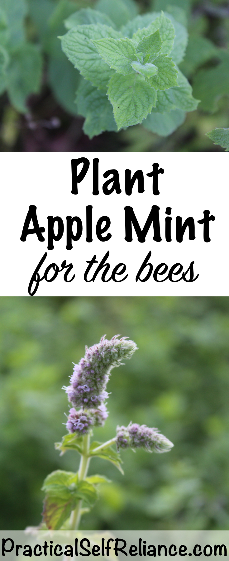 Plant Apple Mint For The Bees