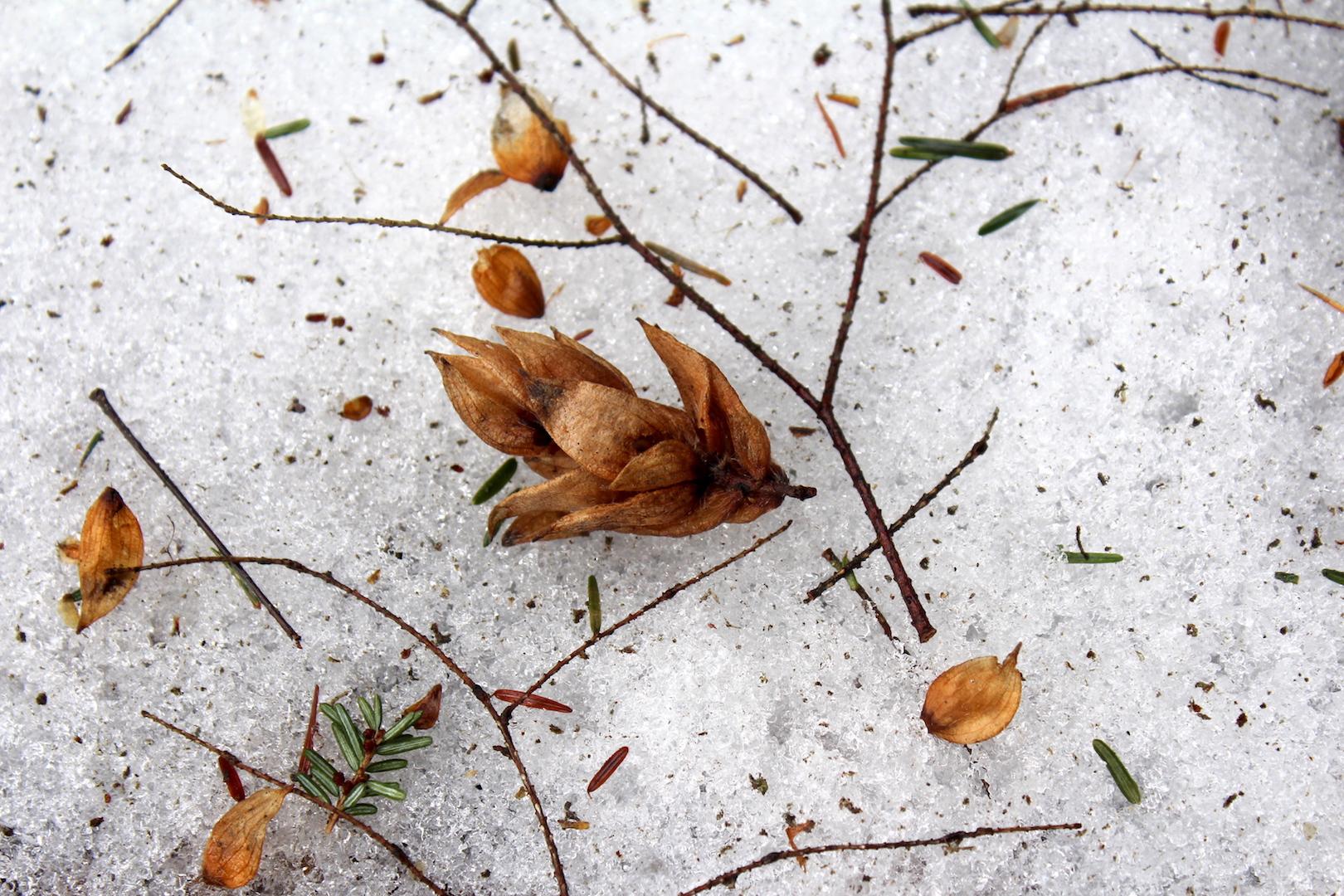 Foraging Hop Hornbeam in Winter