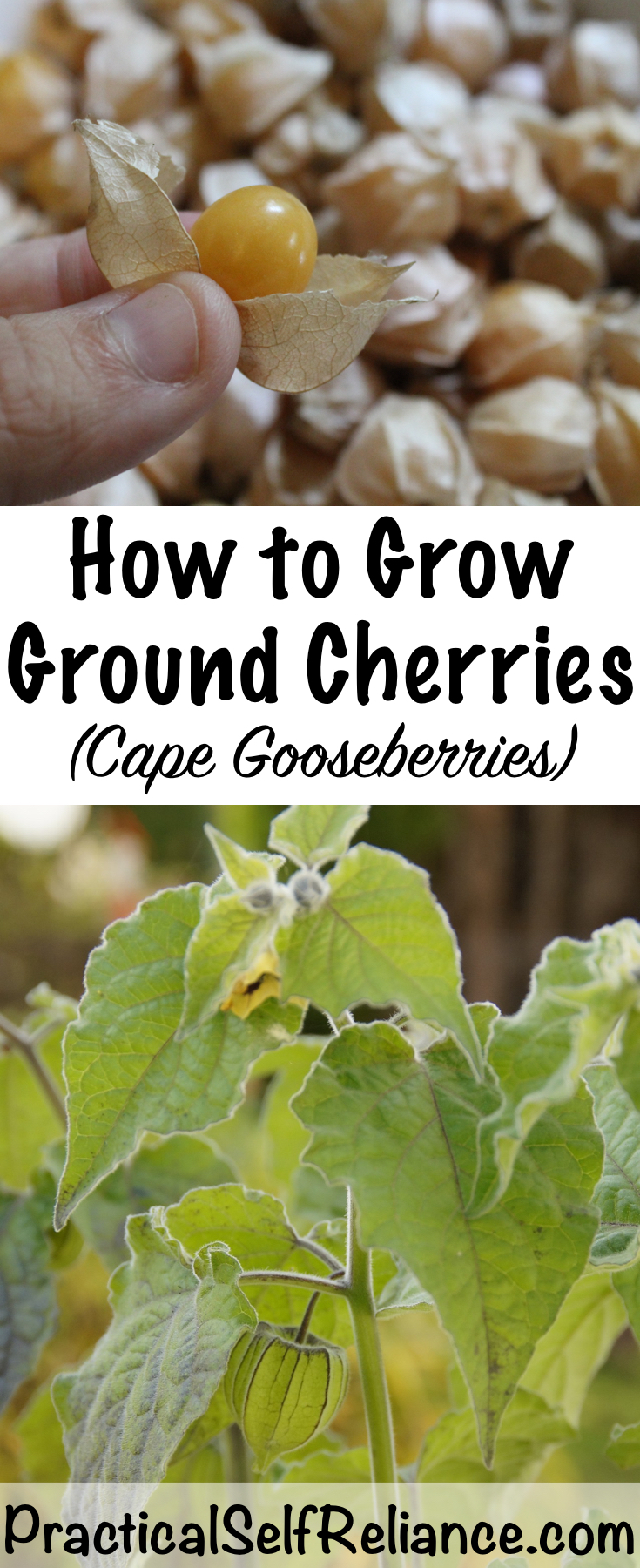 How To Grow Custard Apple: How To Grow Ground Cherries (Cape Gooseberries