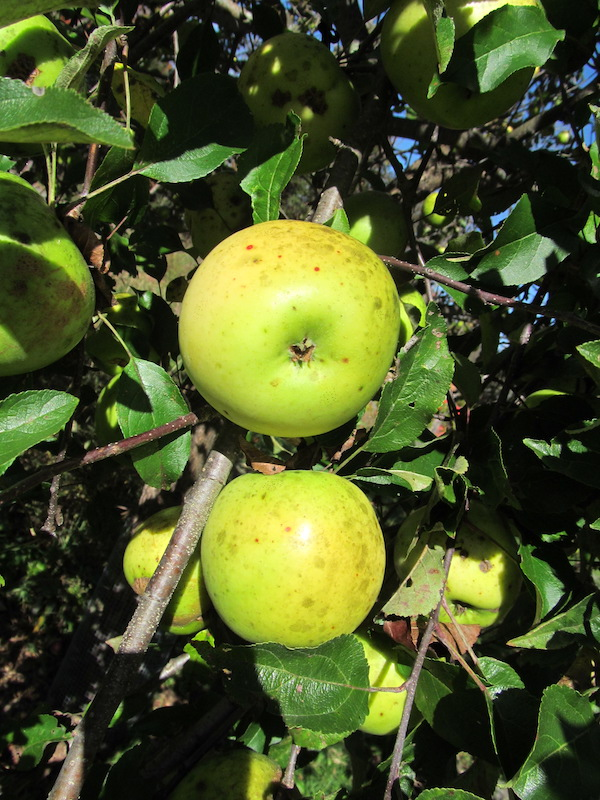 Newton Pippin Apples on our tree