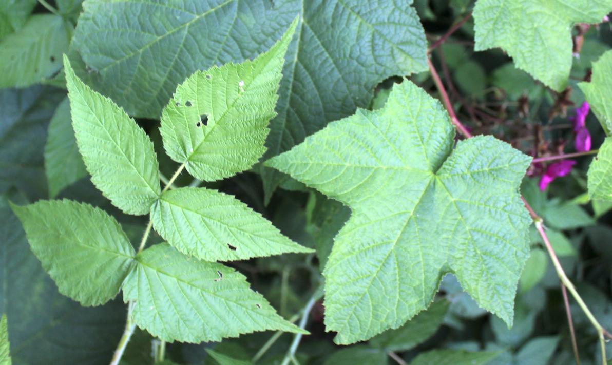 Raspberry leaf compared to thimbleberry leaf