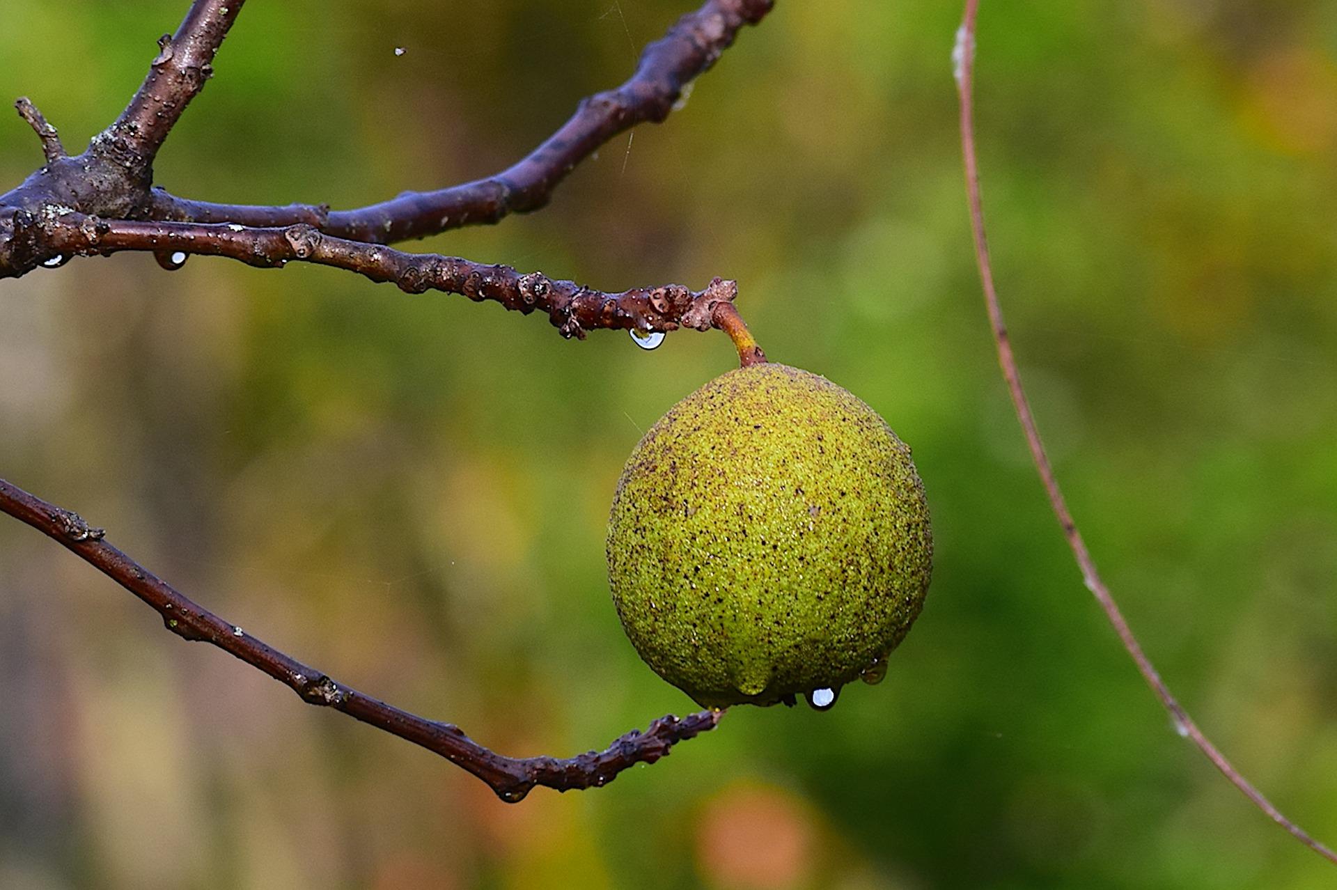 Black Walnut Medicinal Uses