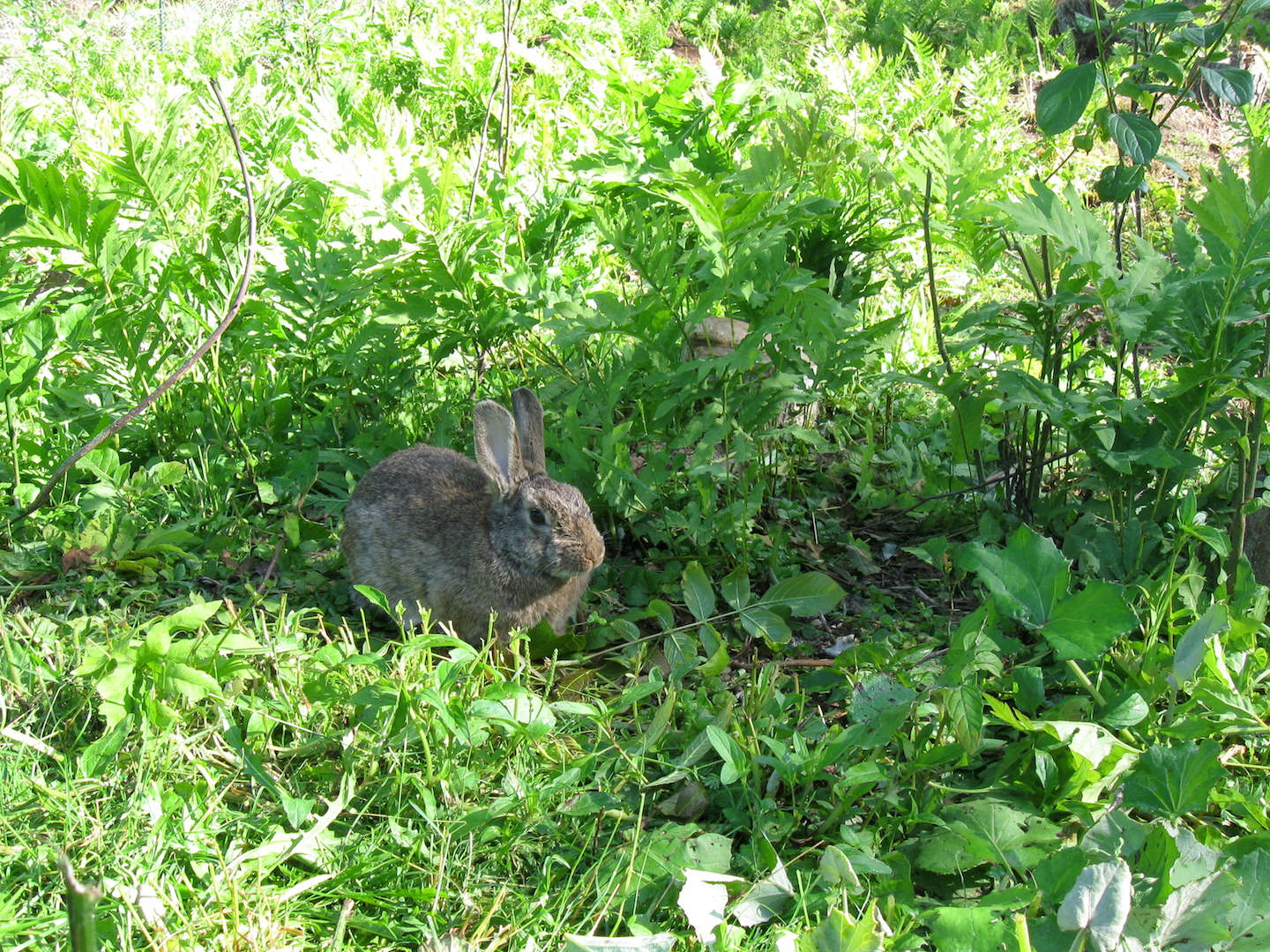 Rabbit on Pasture