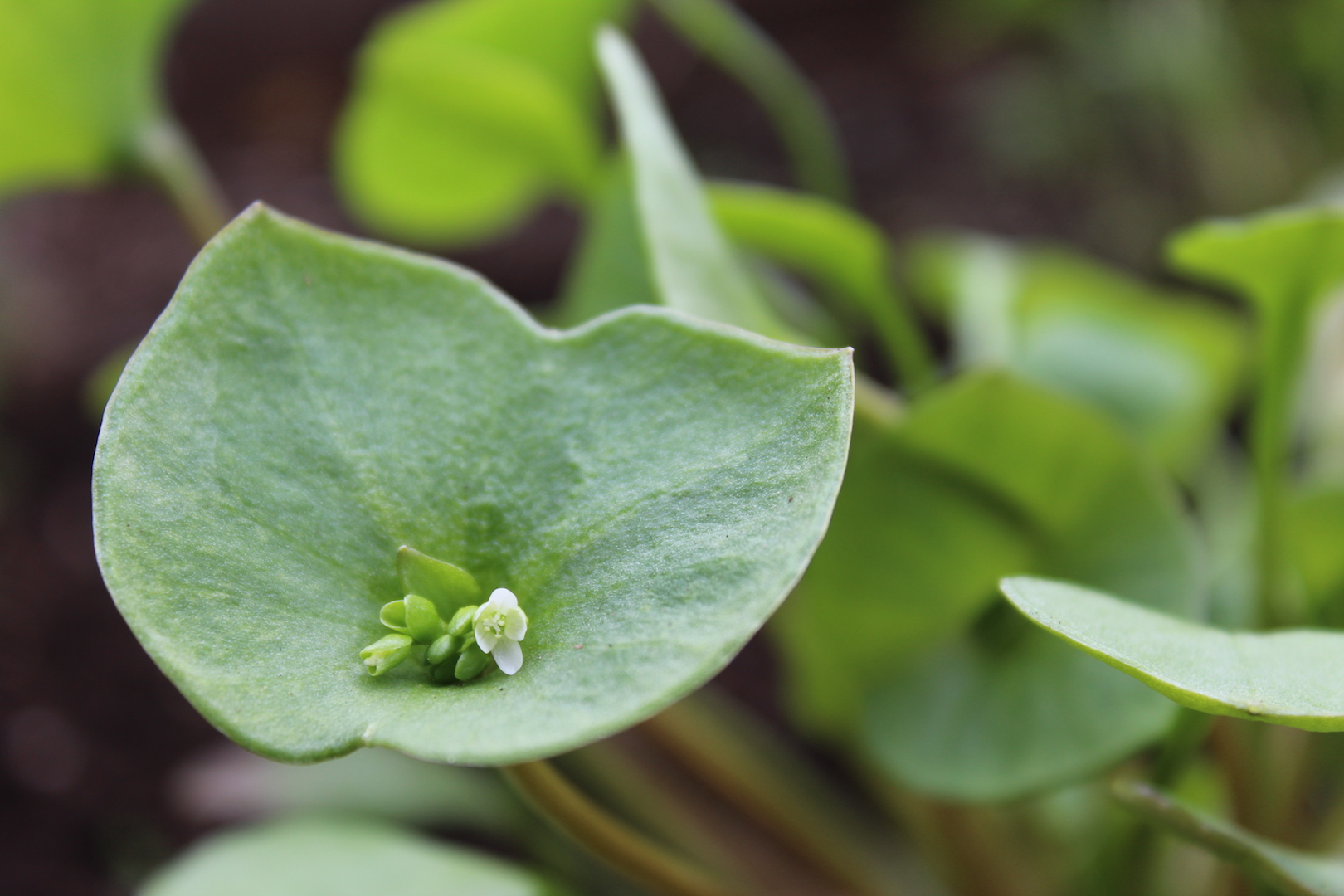 Claytonia Flower ~ Growing Miner's Lettuce