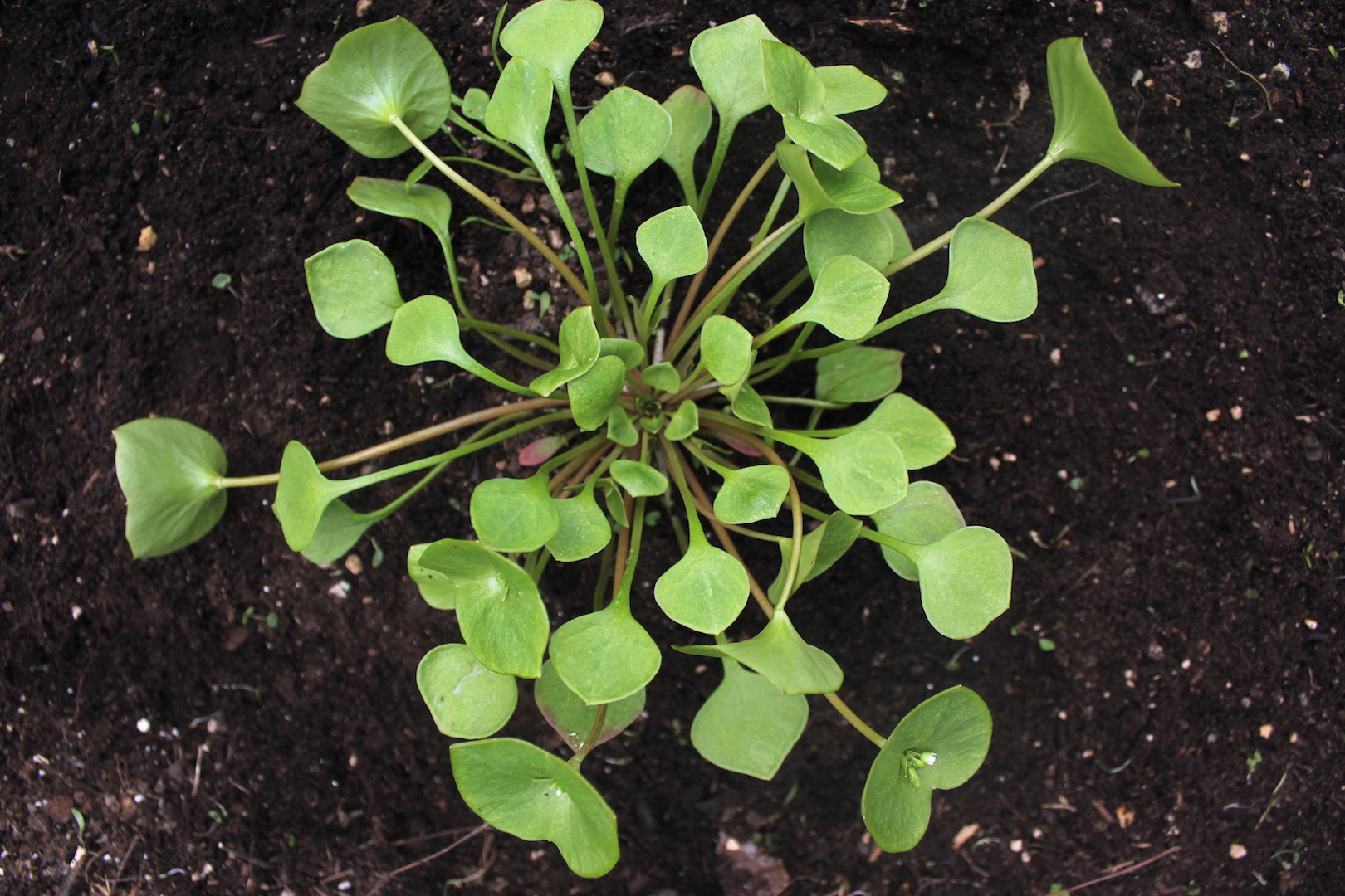 Miner's Lettuce Growing in Spring