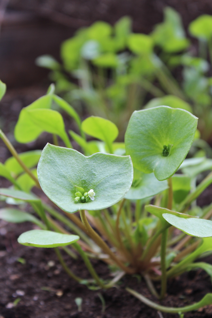 How to Grow Miner's Lettuce
