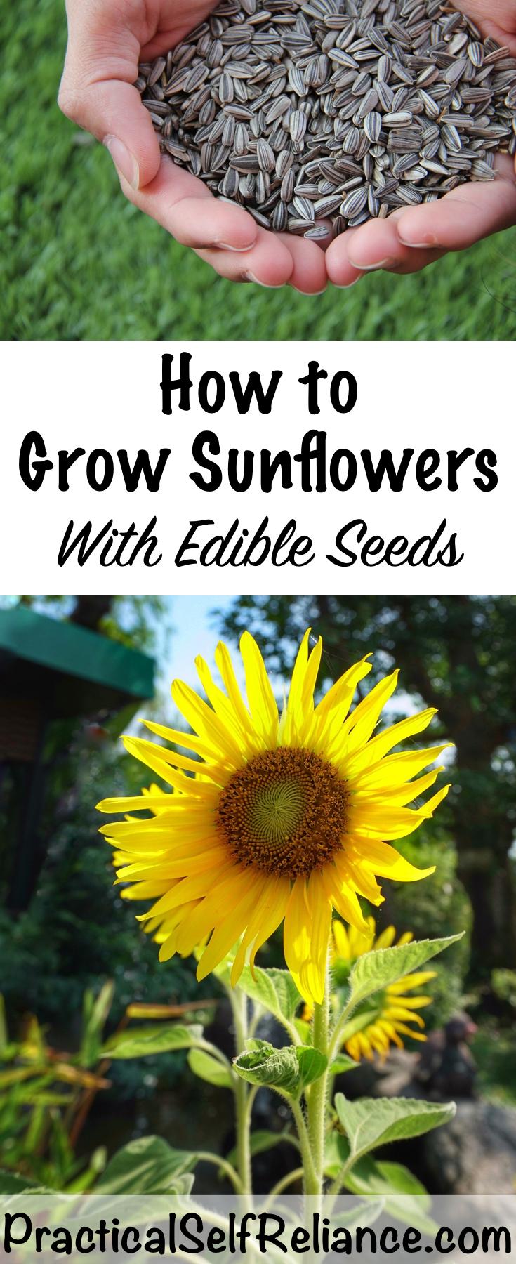 How to Grow Sunflowers for Seeds ~ Grow Edible Sunflower Seeds
