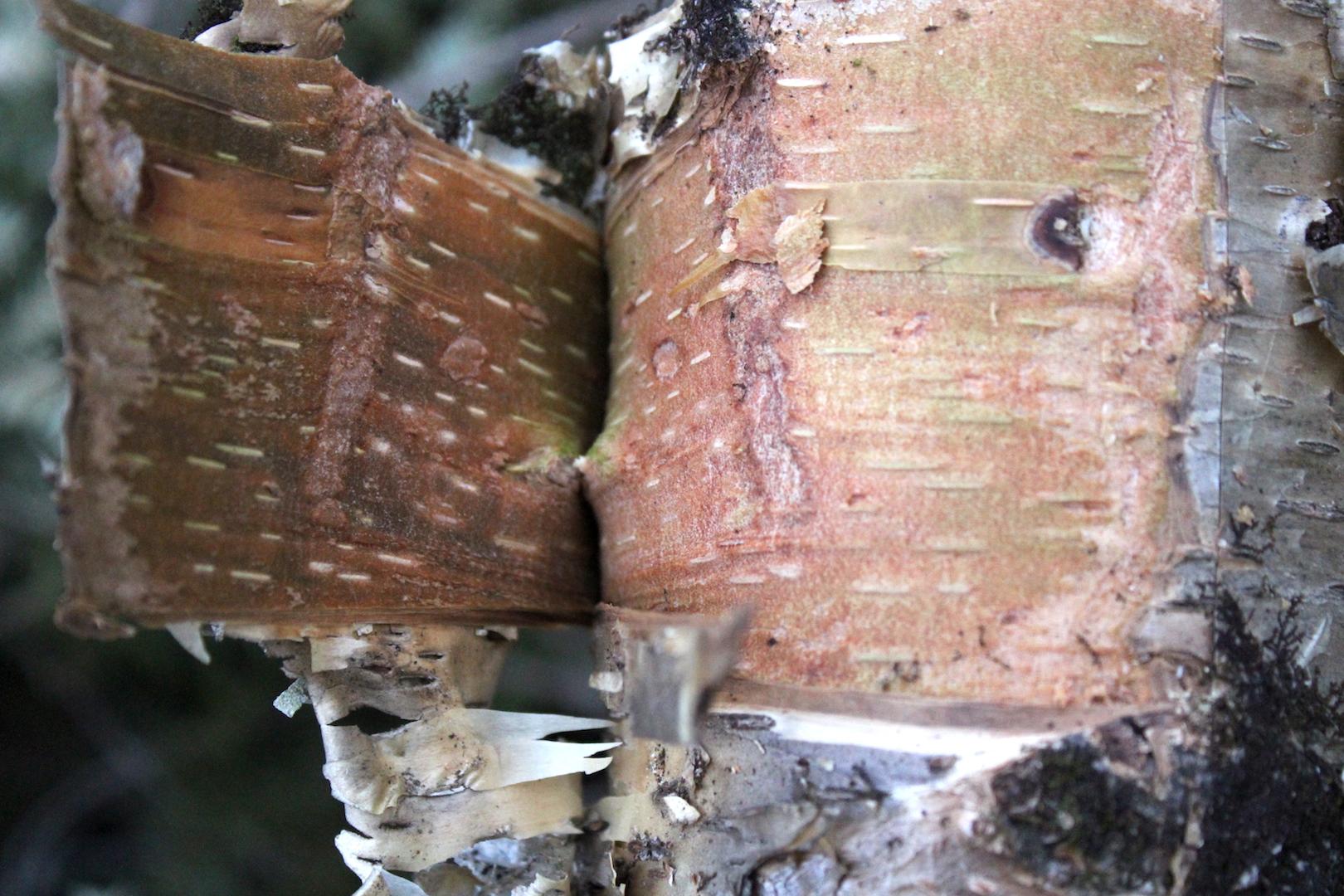 Ling Birch Bark