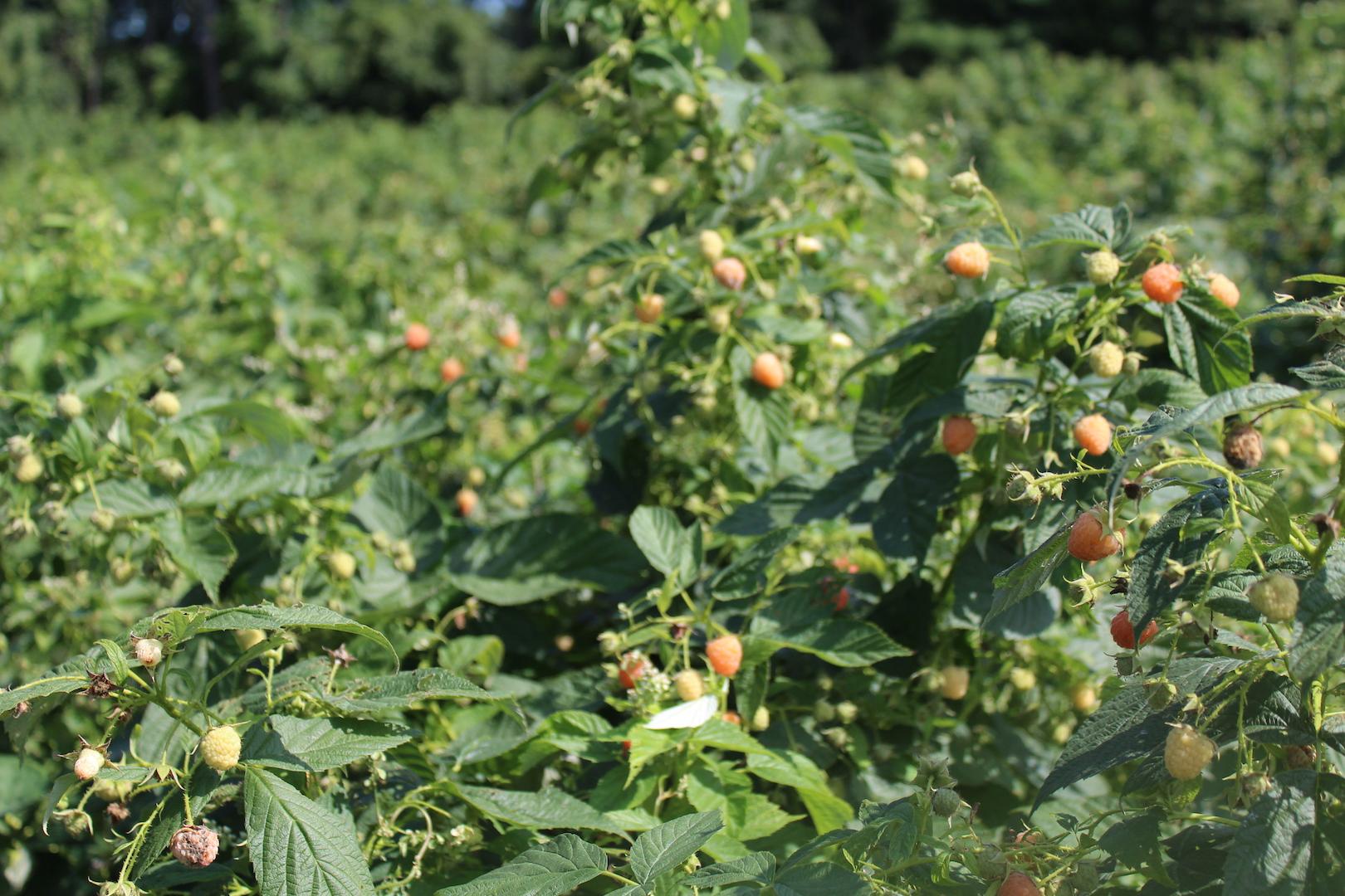 Pick Your Own Golden Raspberries