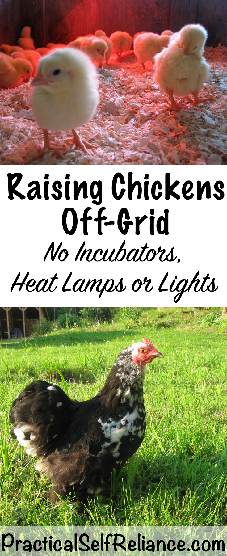 Raising Chickens Off-Grid ~ No Electricity, lights, incubators or heat