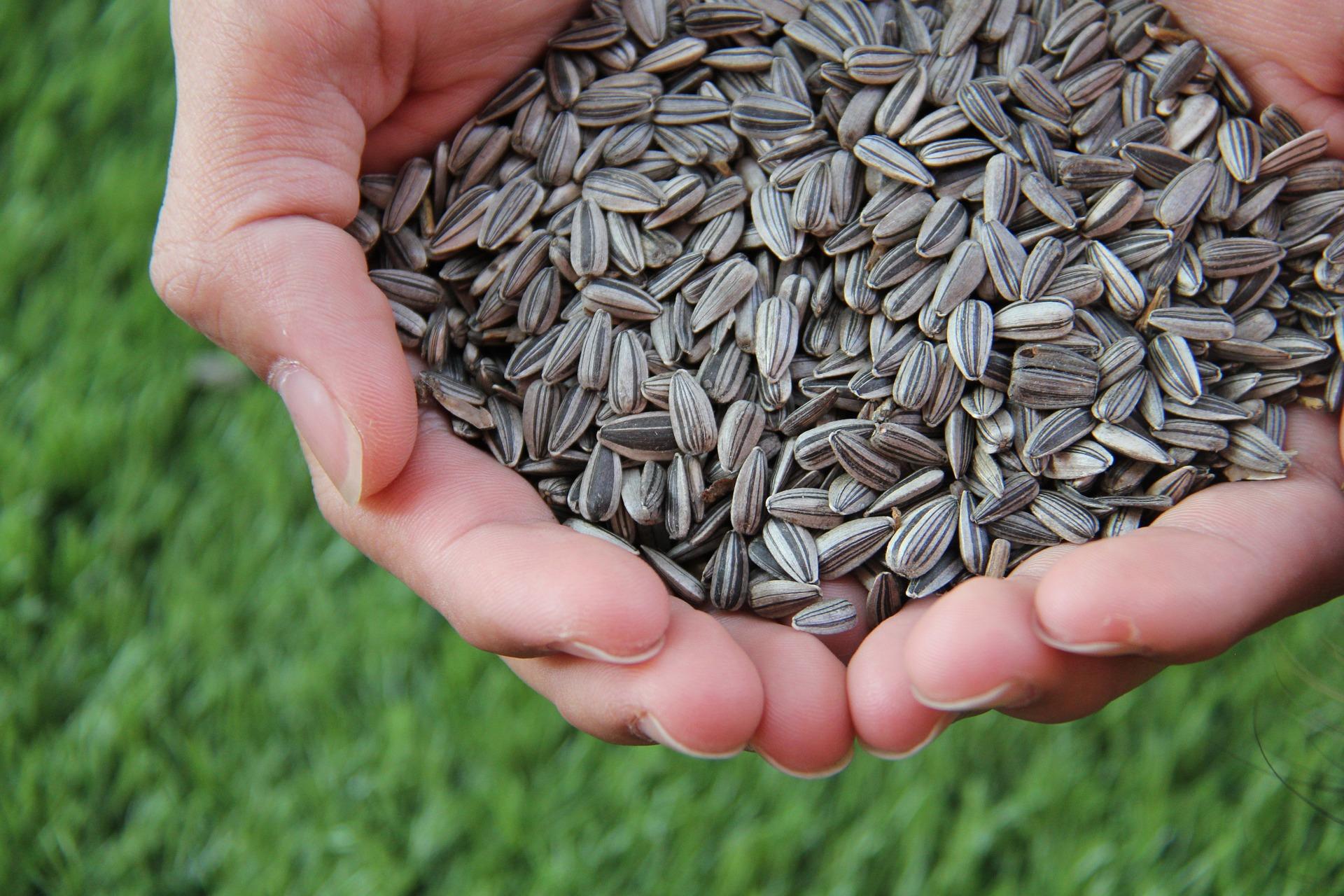 Sunflower Seed Harvest