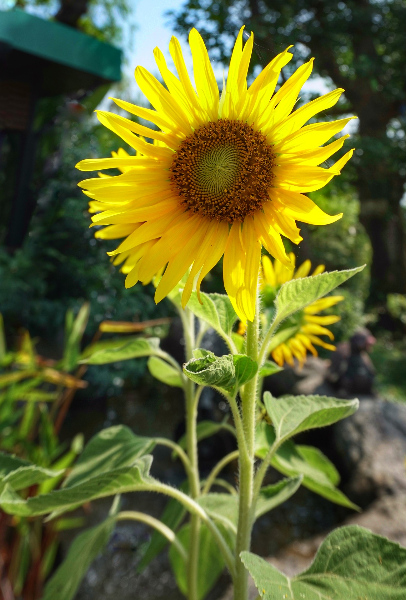 Sunflower Head For Seeds