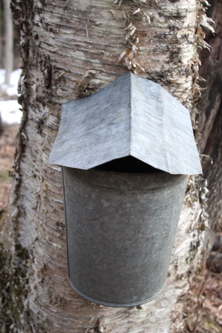 Tapping Birch Trees