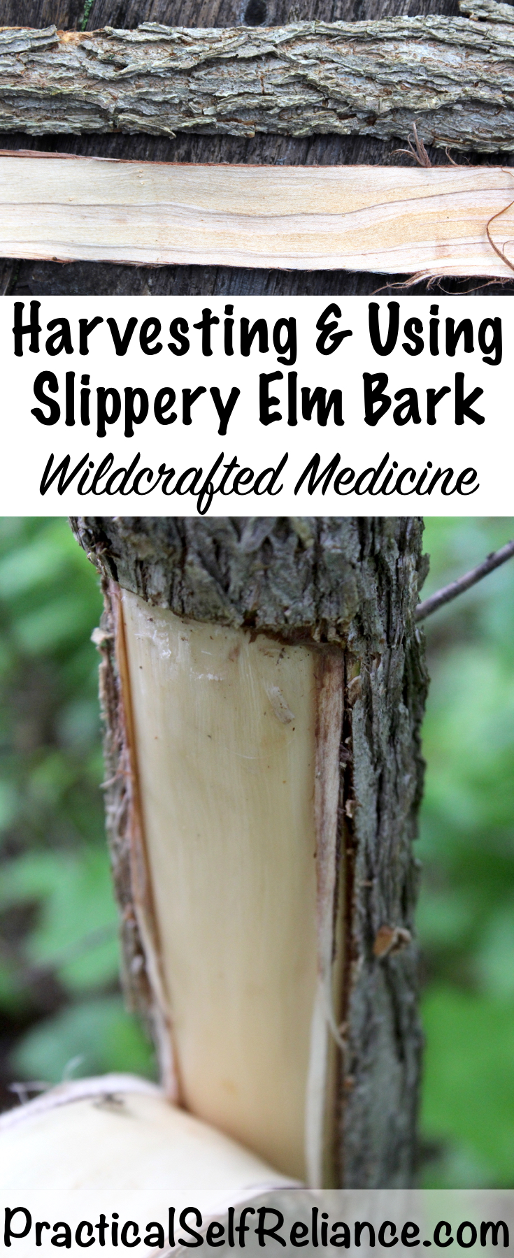 Harvesting & Using Slippery Elm Bark ~ Wildcrafted Medicine