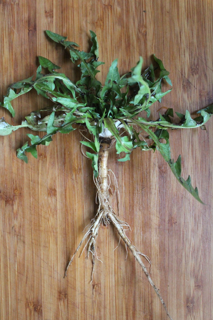 Whole dandelion roots and leaves