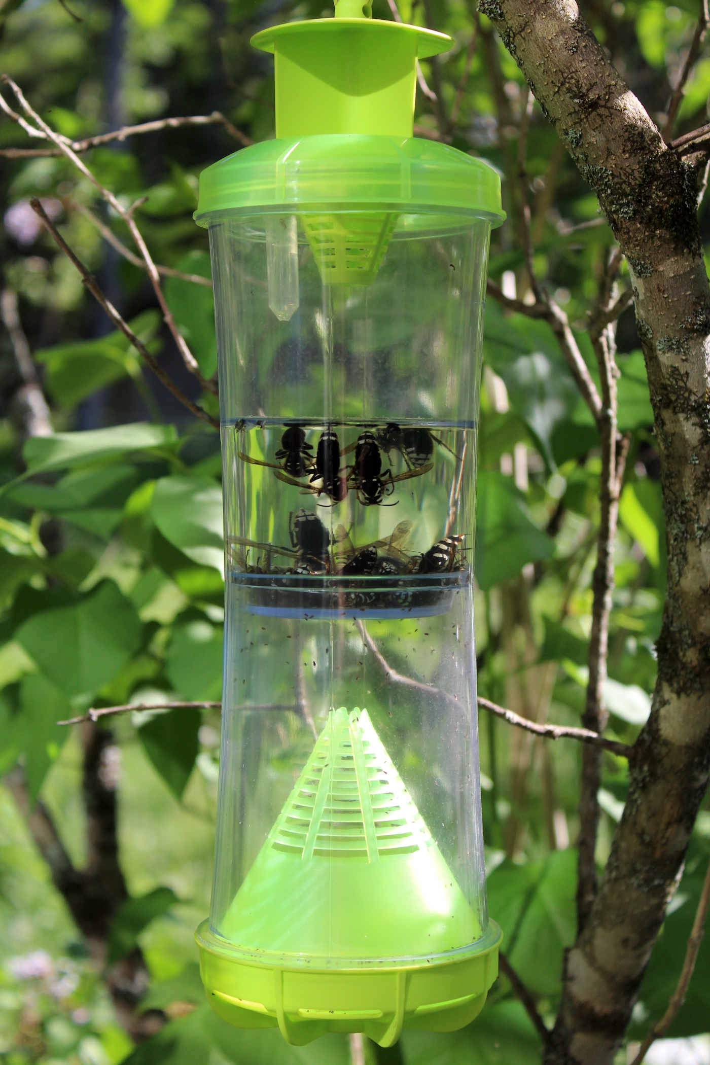 Trap full of bald faced wasps